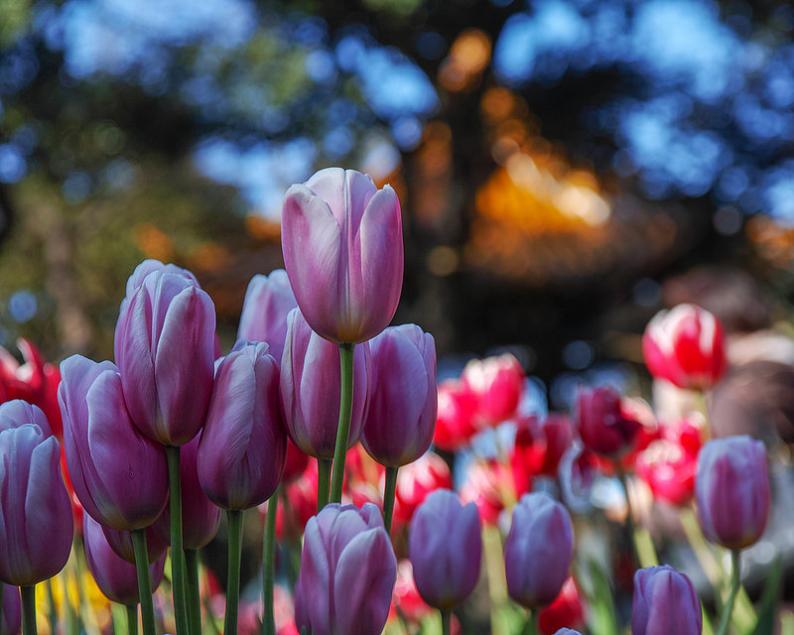 Фото Тюльпаны на фоне боке, фотограф Shinichiro Saka