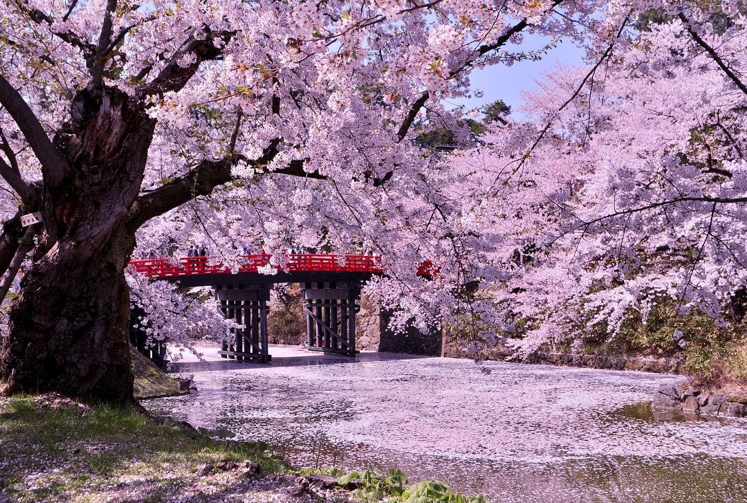 Banco de Imagem primavera, sakura, flor, ao longo, a, rio, com, um, ponte, japão / japão