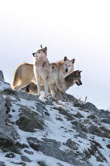 Фото Стая волков на холме