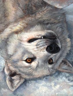 Фото Белый волк лежит на снегу, by Kenket