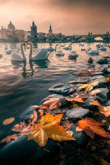 Фото Лебеди на воде, на переднем плане осенние листья на камнях, фотограф Д°lhan Eroglu