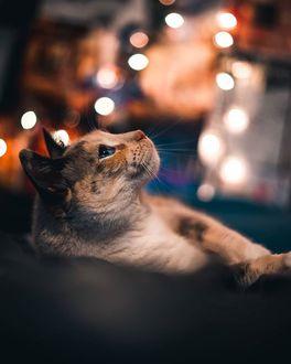Фото Кошка на фоне боке, by haveyoubeentoldtoday