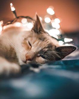 Фото Кошка спит перед светящейся гирляндой, by haveyoubeentoldtoday