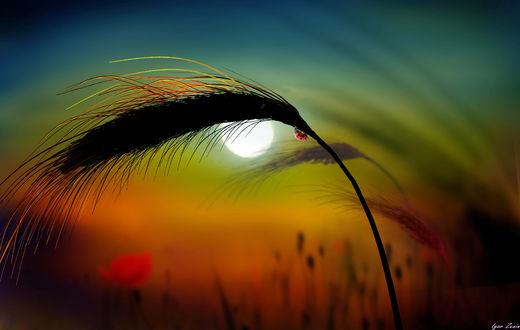 Фото Колос на фоне заката, by Игорь Зенин