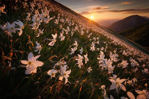 Фото Поле нарциссов освещается солнцем, фотограф Pawel Uchorczak