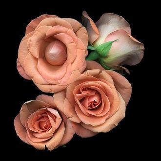 Фото Оранжевые розы на черном фоне, by Kate Scott Studio
