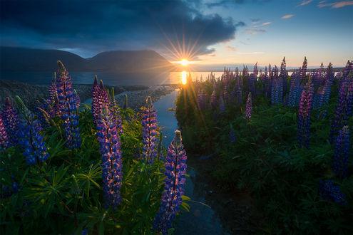 Фото Люпины освещаются солнцем, озеро Ohau, Новая Зеландия, фотограф William Patino