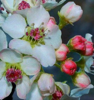 Фото Весенние цветы яблони, by Nimbue