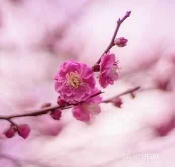 Фото Весенняя цветущая ветка, by takao_japan