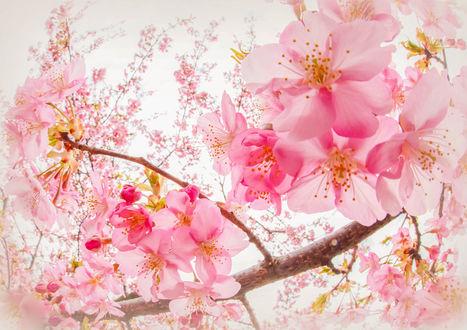 Фото Весеннее цветение сакуры, фотограф Hiroshi Araki