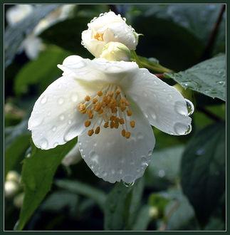 Фото Капли дождя на белом цветке, Автор: Nick ONeal