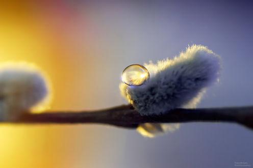 Фото Веточка вербы с каплей росы. Фотограф Тараненко Анжелика