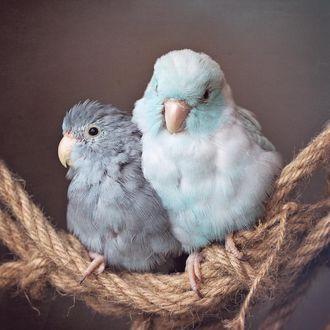 Фото Попугайчики на толстой веревке