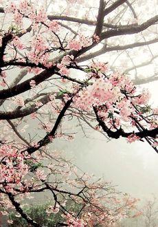 Фото Весенние цветущие ветки дерева в тумане