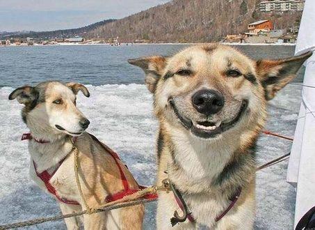 Фото Без улыбки день прошел зря! Собаки в упряжке, одна из них улыбается