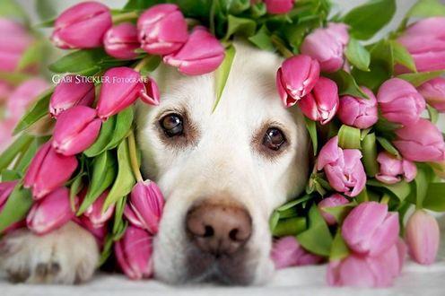 Фото Золотистый ретривер в розовых тюльпанах, фотограф Габи Стиклер
