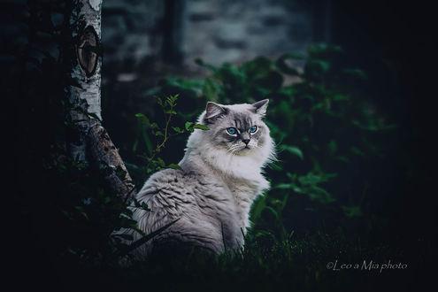 Фото Голубоглазая кошка сидит у дерева, фотограф Jela Skolkova