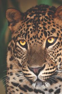Фото Желтоглазый леопард, by lsleofskye