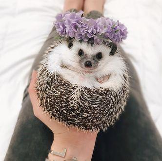 Фото Ежик с цветочным венком на иголках
