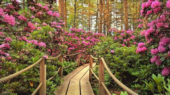 Фото Деревянная дорожка-мостик в парке Рододендрон, by Pajunen