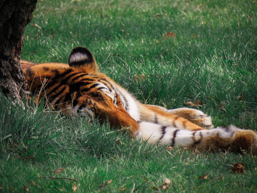 Фото Тигр лежит на зеленой траве, фотограф Alessandro Fisco