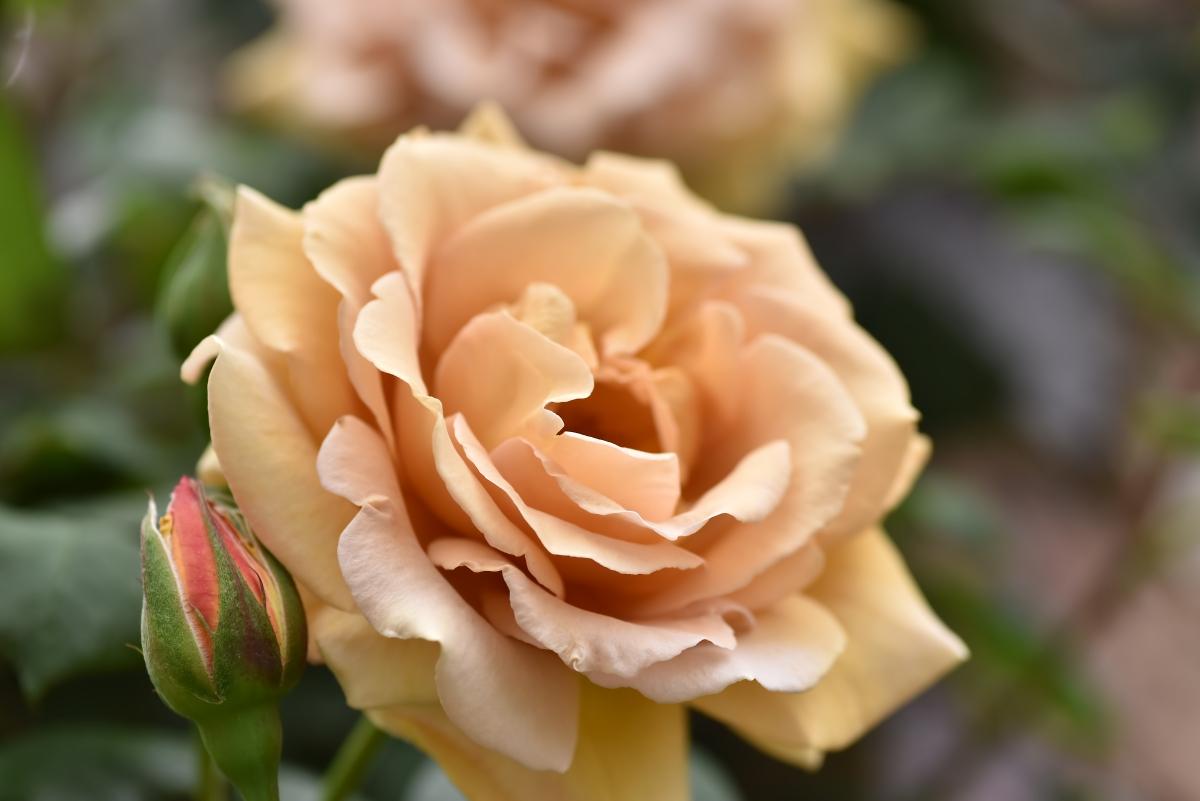 Фото Светло - оранжевая роза и нераспустившийся бутон