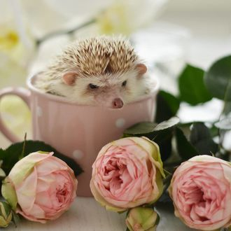 Фото Ежик в чашке и розовые розы на столе