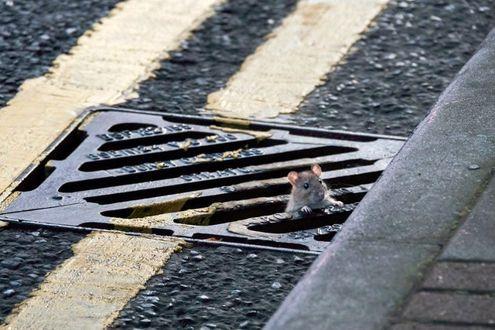 Фото Мышонок высунулся из канализационной решетки на пешеходном переходе