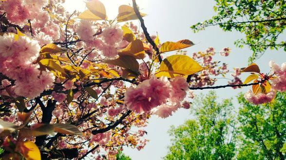 Фото Весенняя цветущая сакура, by Y_Y