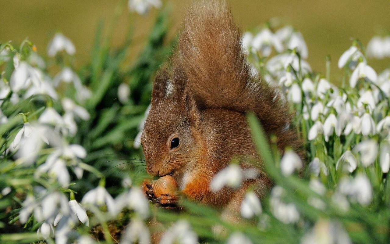 Фото Белка с орешком в подснежниках
