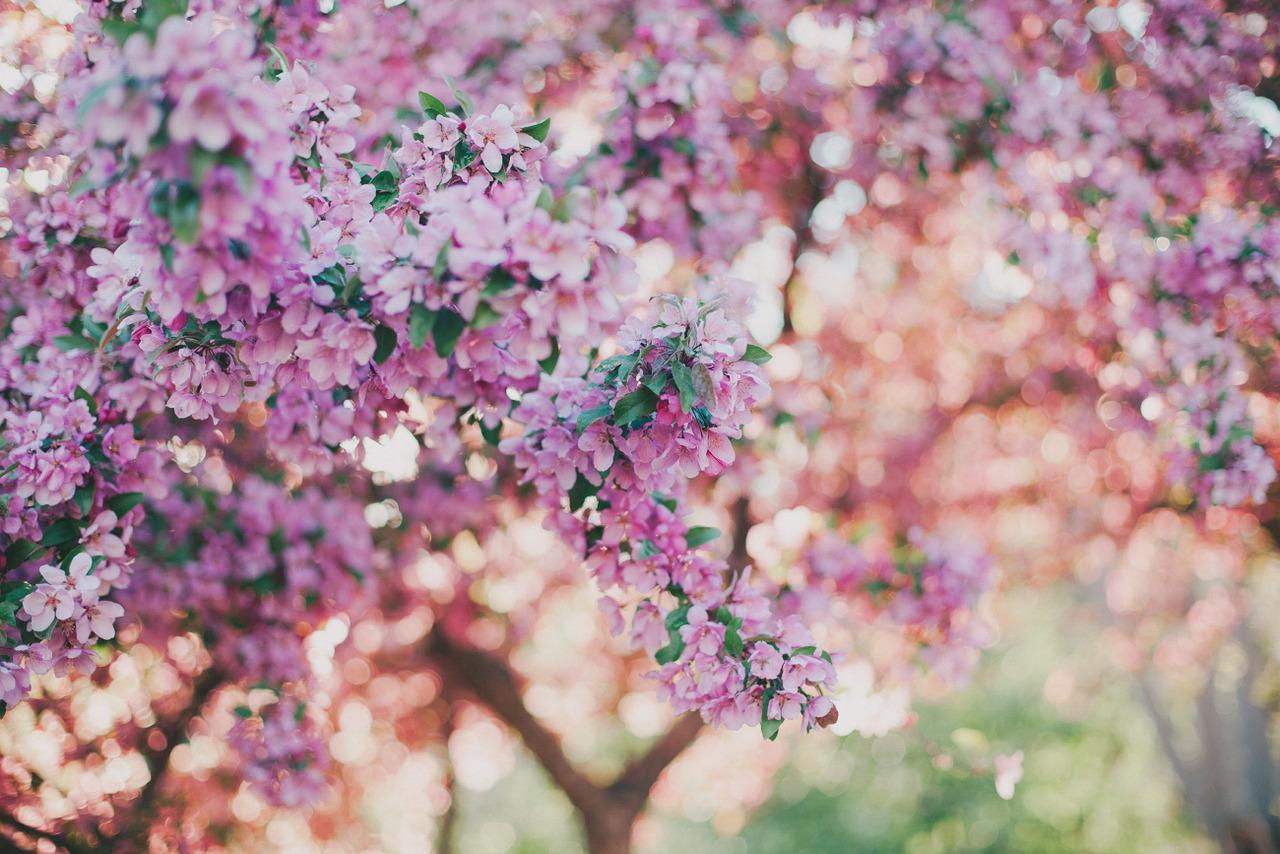 Foto Primavera florescendo de sakura, por juliamstarr