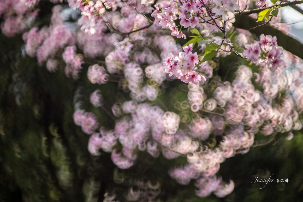 Фото Весенняя цветущая сакура, by Jennifer