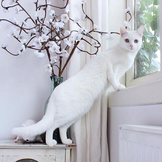 Фото Белая кошечка выглядывает в окно рядом с вазой с цветущими весенними веточками