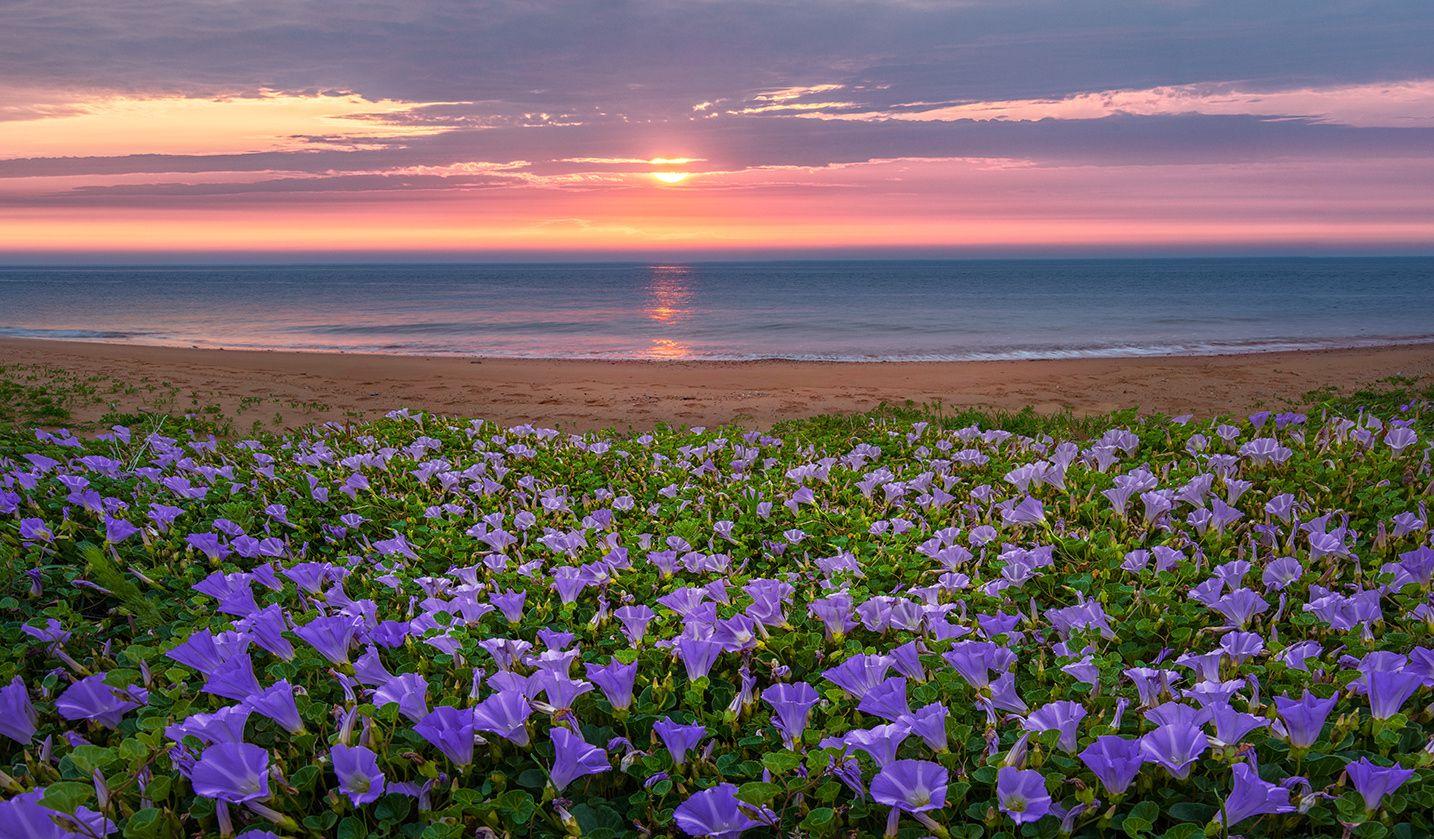 Голубые цветы вьюнка на побережье на фоне заката