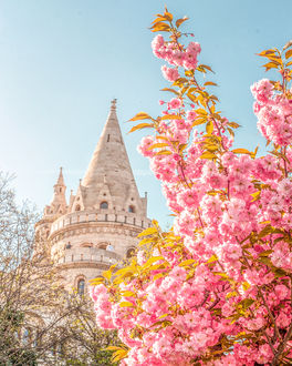 Фото Цветущие весенние веточки дерева на фоне замка, Будапешт, фотограф Hegyi Benjamin