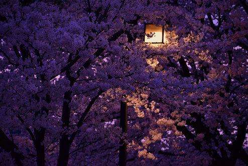 Фото Весенняя сакура освещена городским фонарем, by Ns gallery