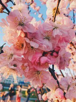 Фото Цветущие ветки сакуры в макросъемке