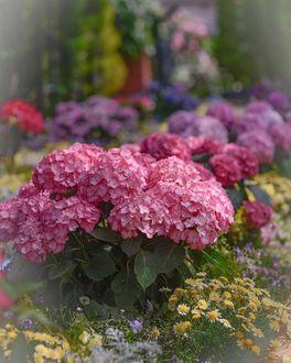 Фото Розовая гортензия среди других цветов
