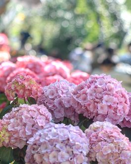 Фото Розовая гортензия на фоне боке