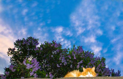 Фото Рыжий кот лежит на каменном заборе, на фоне цветущей сирени и неба