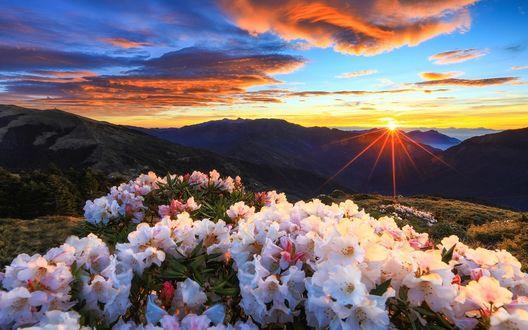 Фото Цветущие рододендроны на фоне заката, by Estrella Chuang