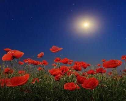 Фото Красные маки под голубым небом