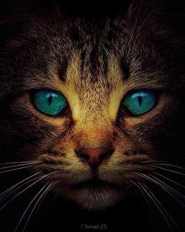 Фото Морда кошки с бирюзовыми глазами, by Ismael J. S