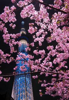 Фото Цветущая сакура в ночи, Токио, фотограф Comyu Matsuoka