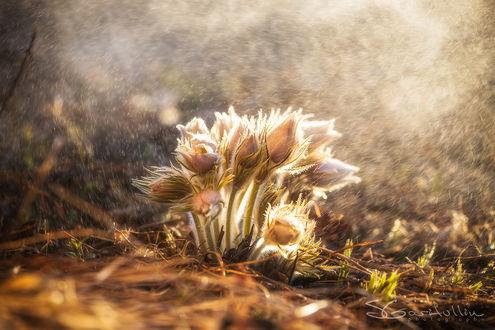 Фото Светлые цветы прострела под дождем и ярким солнцем, фотограф Сергей Гарифуллин
