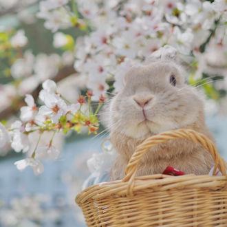 Фото Кролик в корзине на фоне весенней цветущей вишни, by nao_0307_