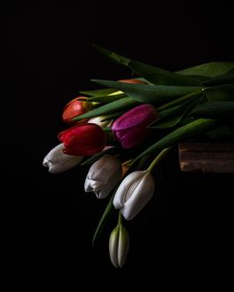 Фото Разноцветные тюльпаны на черном фоне, by Jessica Musslewhite