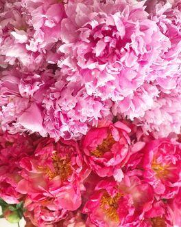 Фото Розовые и темно-розовые пионы, by frenchcountrycottage