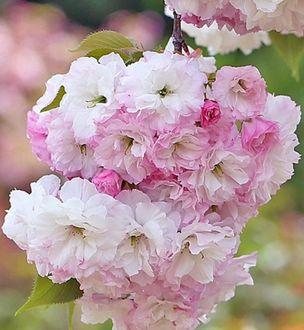 Фото Весенняя цветущая сакура