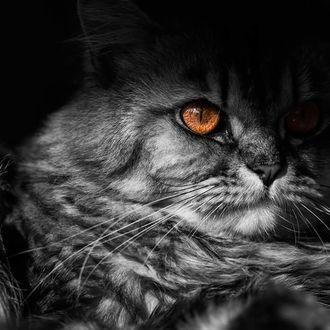 Фото Кот с коричневыми глазами, by talha. a. b